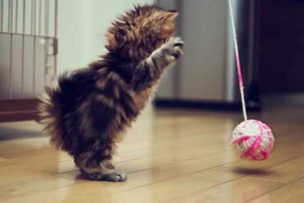 brincando-com-o-gato-anima-mais-animais